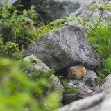 東ヌプカウシヌプリに登ってきた!ナキウサギかわいいです!
