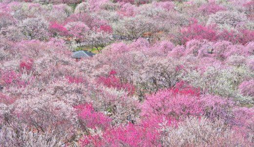 三重県いなべ市農業公園の梅林公園で梅を撮影してきた!