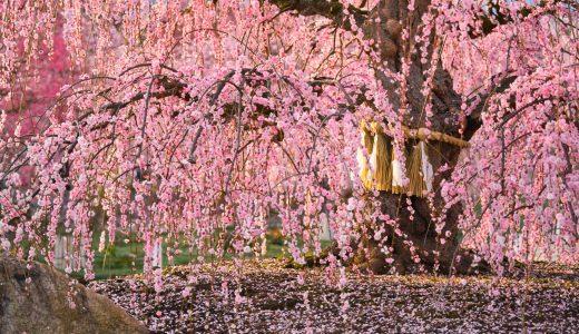 三重県鈴鹿の森庭園で怖いくらい見事で面妖で素晴らしいしだれ梅を撮影してきた!