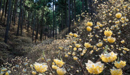 栃木県焼森山ミツマタ群生地で満開のミツマタを撮影してきた!