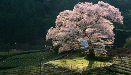 静岡県、樹齢300年の牛代のみずめ桜を撮影してきた!茶畑に囲まれた美しき大一本桜!