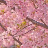神奈川県、西平畑公園で河津桜を撮影してきた!メジロとヒヨドリも初めて撮影してみた!