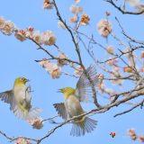 神奈川県、湯河原梅林で梅とメジロを撮影してきた!初めての梅ジロー、小鳥撮影を楽しんできた!