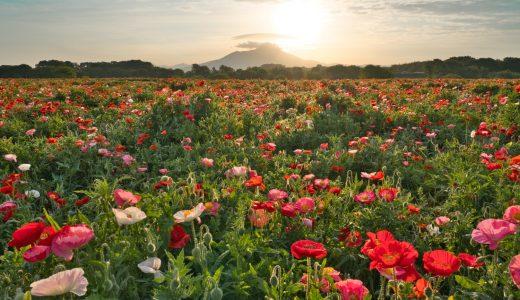茨城県、小貝川ふれあい公園で満開のポピーと筑波山を撮影してきた!朝日の透けたポピーの花びらが美しい!